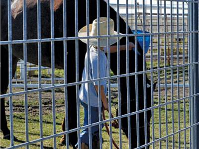 A boy standing in front of horse panel fence is leading a brown horse which is eating grass.